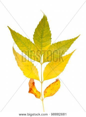 Autumnal Ash-tree Leaves