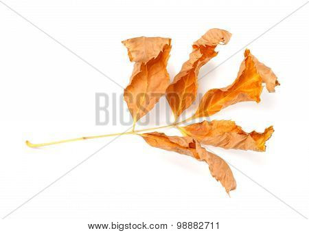 Dry Autumnal Ash-tree Leaves