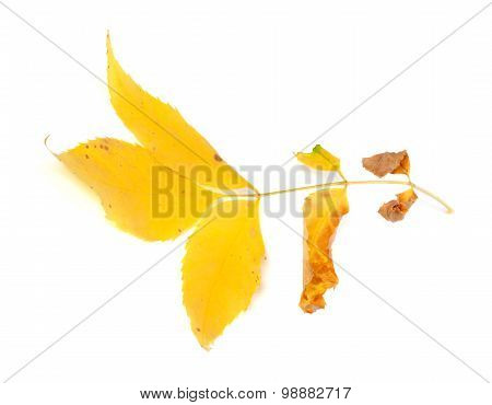 Dry Yellow Ash-tree Leaf