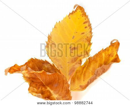 Part Of Dried Yellow Ash-tree Leaf