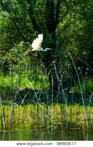 Great Egret, Skadar Lake