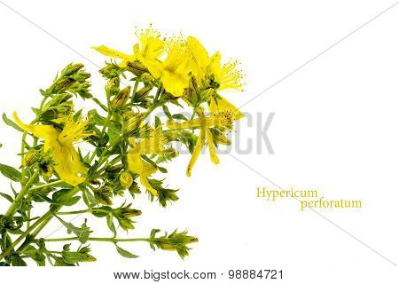 Yellow Flower Of St. John's Wort, Hypericum Perforatum, Isolated On White
