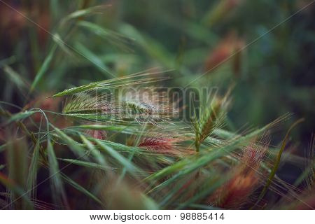 Green spikelets with drops of dew