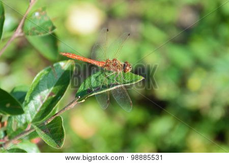 Red dragon-fly on a green leaf