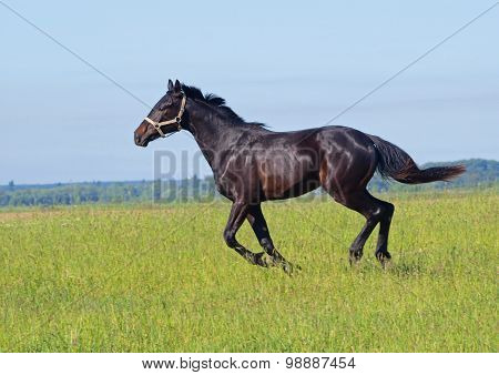 Dark-bay young stallion galloping on pasture