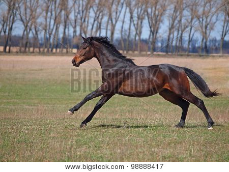 Young stallion gallops on a meadow