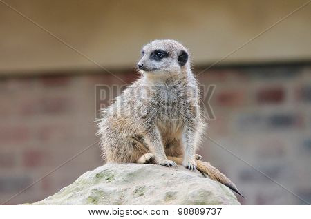 Meerkat Close Up