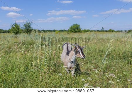 Portrait of goat eating a grass on meadow