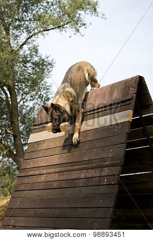 Jumping Dog Over The Hurdle