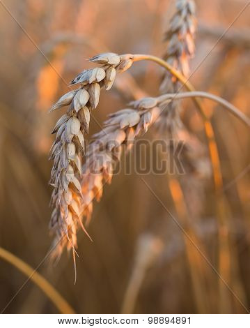 gold ears of wheat under sky