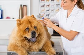 stock photo of chow-chow  - Canine hairdresser in a beauty clinic with Chow Chow - JPG