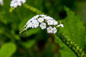 picture of heliotrope  - Blur focus closeup flower of Heliotropium indicum herb - JPG