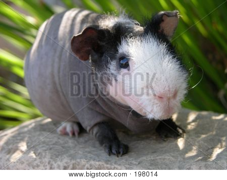 Skinny Pig In California