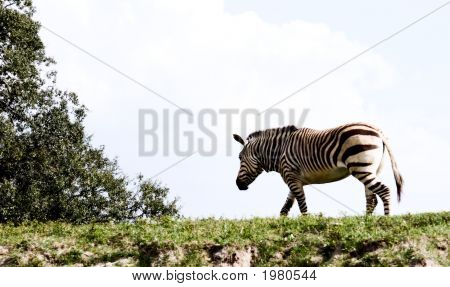 Lone Zebra On Ridge