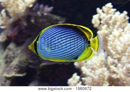 Black-Backed Schmetterlingsfische