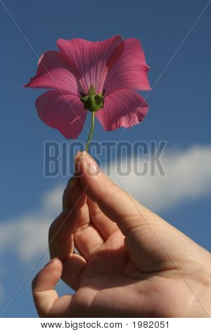 Pink Flower In A Hand On A Background Of The Blue Sky