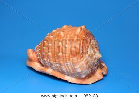 Rote Muschel