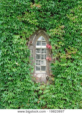 Green ivy covering wall around window