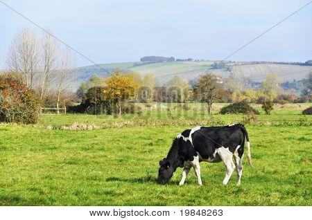 Kuh auf einer Wiese, englische Landschaft Landschaft im Herbst