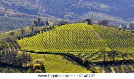 Vineyard in Tuscany in spring, Italy