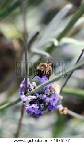 Macro Bee On Lavender