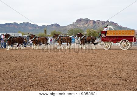 APACHE JUNCTION, AZ - FEBRUARY 26: The Budweiser Clydesdale horses perform at the Lost Dutchman Days rodeo on February 26, 2010 in Apache Junction, Arizona.