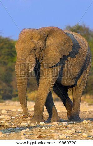 Retrato de um elefante em um poço. A foto foi tirada no Parque Etosha, Namíbia.