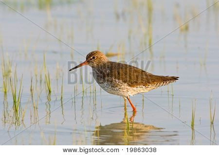 Portrait of a redshank (tringa totanus).
