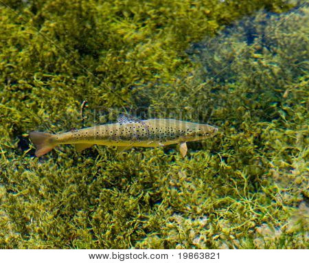 Photo showing a rainbow trout in the clear water of a lake.