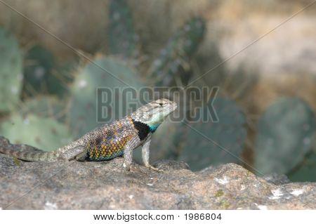 California Spiny Lizard