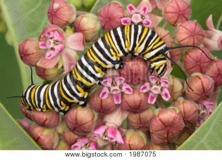 Monarch Caterpillar On Milkweed 8