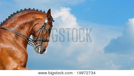Dressage: head of bay stallion - nature background