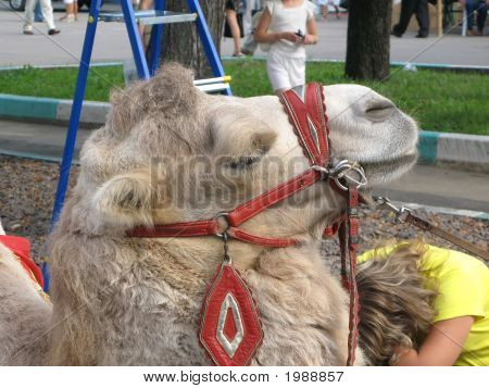 Camel Close-Up
