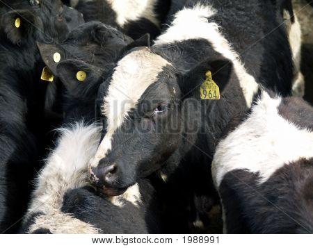 Fresian Calf