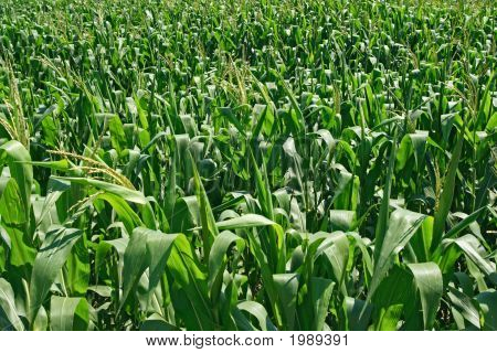 Green Cornfield Background
