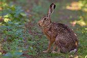Постер, плакат: Портрет сидя коричневый заяц lepus europaeus