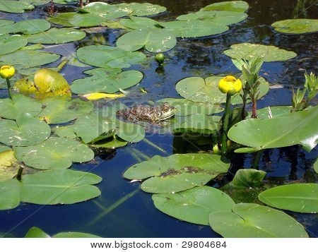 Bullfrog Sitting on a Lily Pad