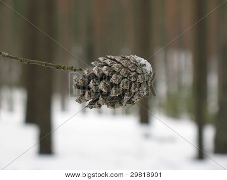 The cone on a branch