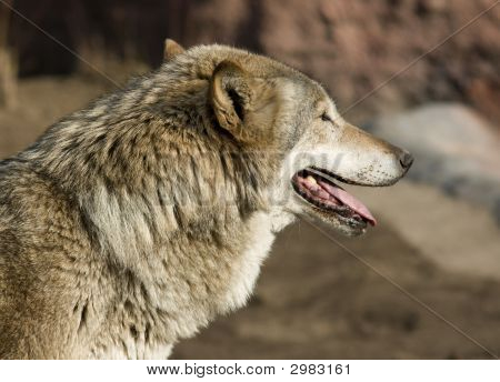 Wolf Looking Forward