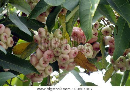 Syzygium Samangense