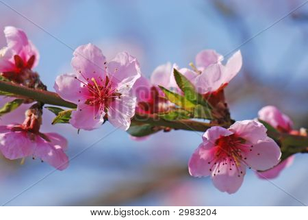 Cherry Tree Flowers In Bloom
