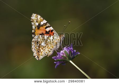 Painted Lady On The Purple Flower