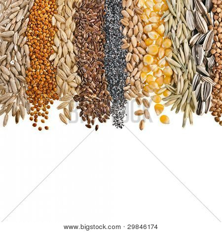 Border Collection of Cereal Grains and Seeds : Rye, Wheat, Barley, Oat, Sunflower, Corn, Flax, Poppy, Millet  on white
