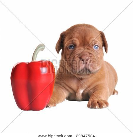 Puppy is as small as red pepper