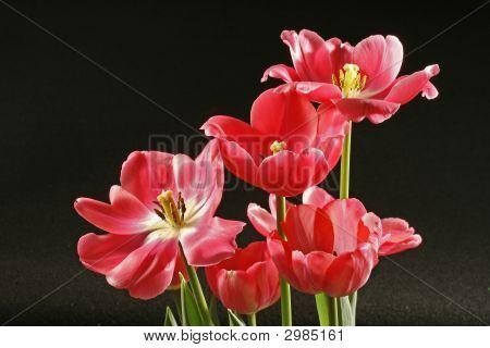 Tulip Cluster