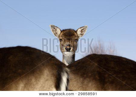 Fallow Deer Baby