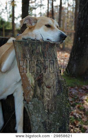 Carolina dog, tree stump