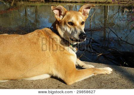 Perro de Carolina en Banco de hormigón