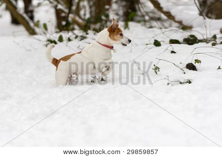 Parson Jack Russell Terrier Wading Through Deep Snow
