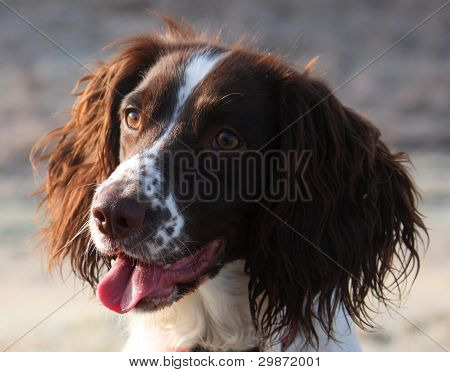 working type english springer spaniel looking cute